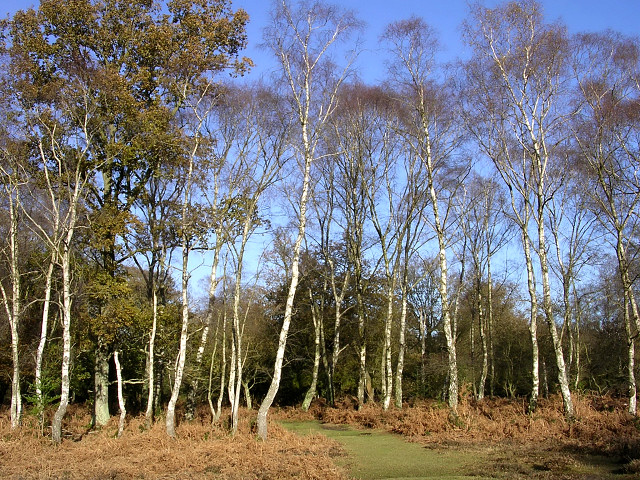 Silver birch on the edge of Brinken Wood, New Forest - geograph.org.uk - 86996