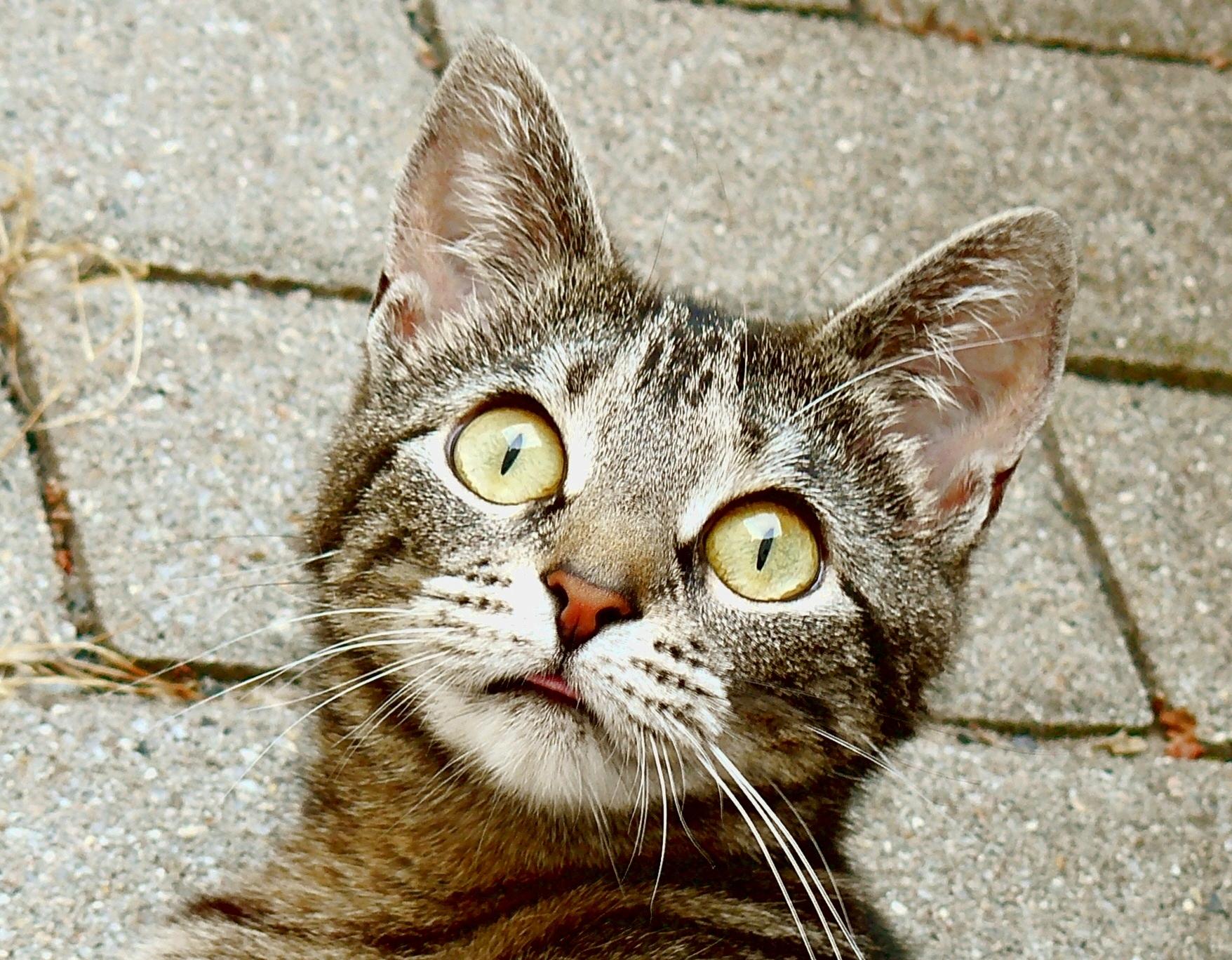Aufmerksame Hauskatze, überrascht von einem Geräusch