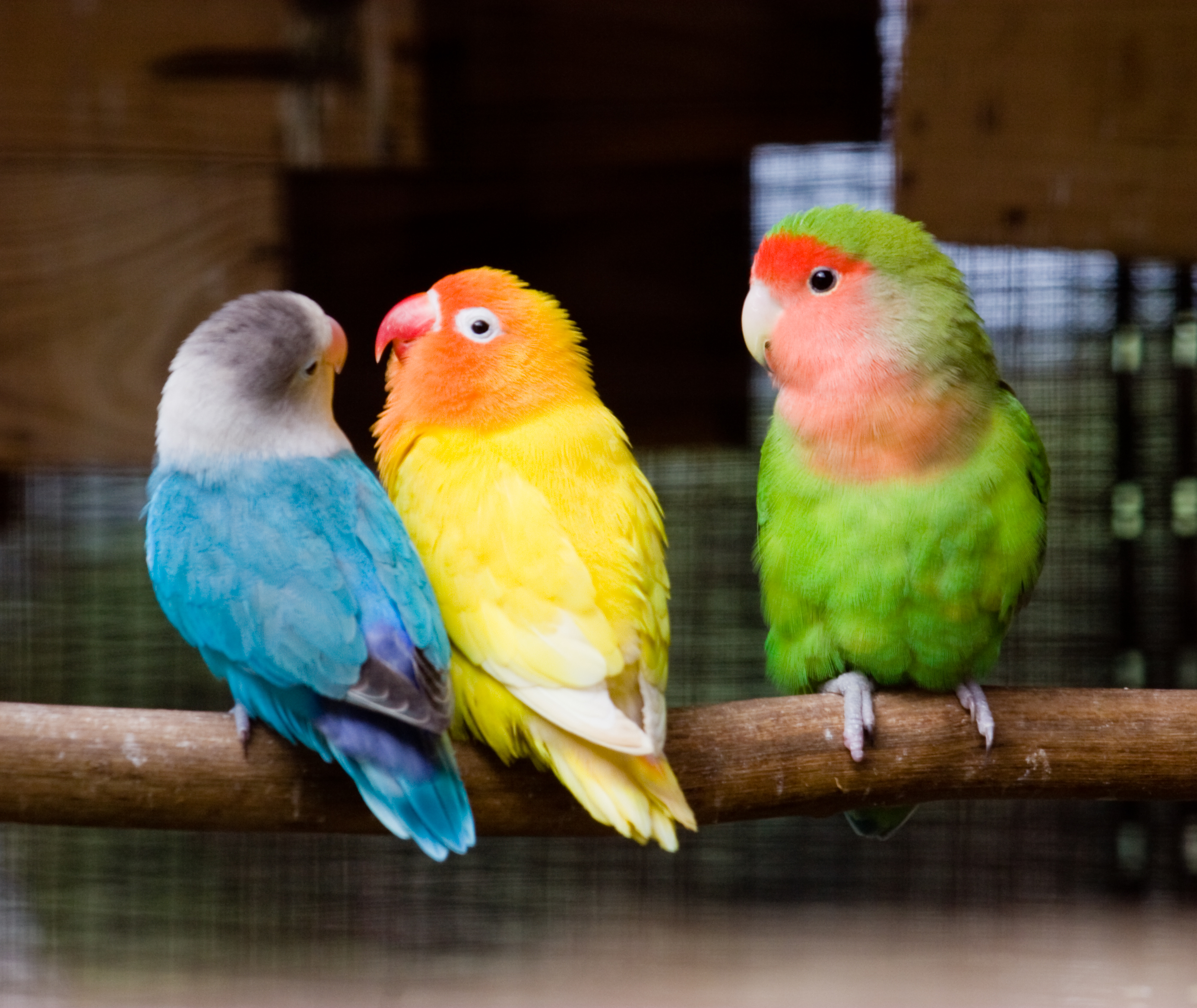 File Three Lovebirds On A Perch 8a Jpg Wikimedia Commons