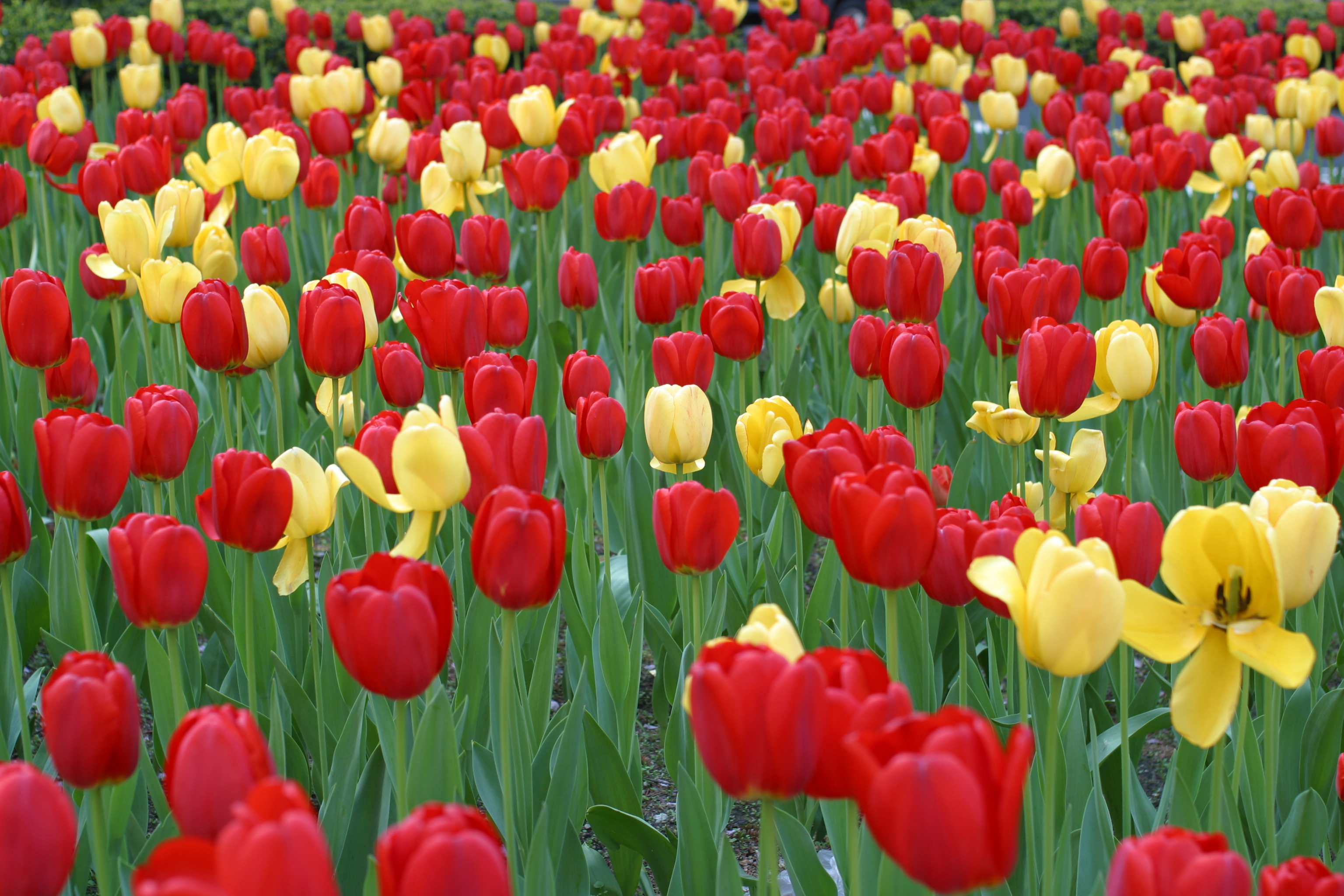 Tulipps