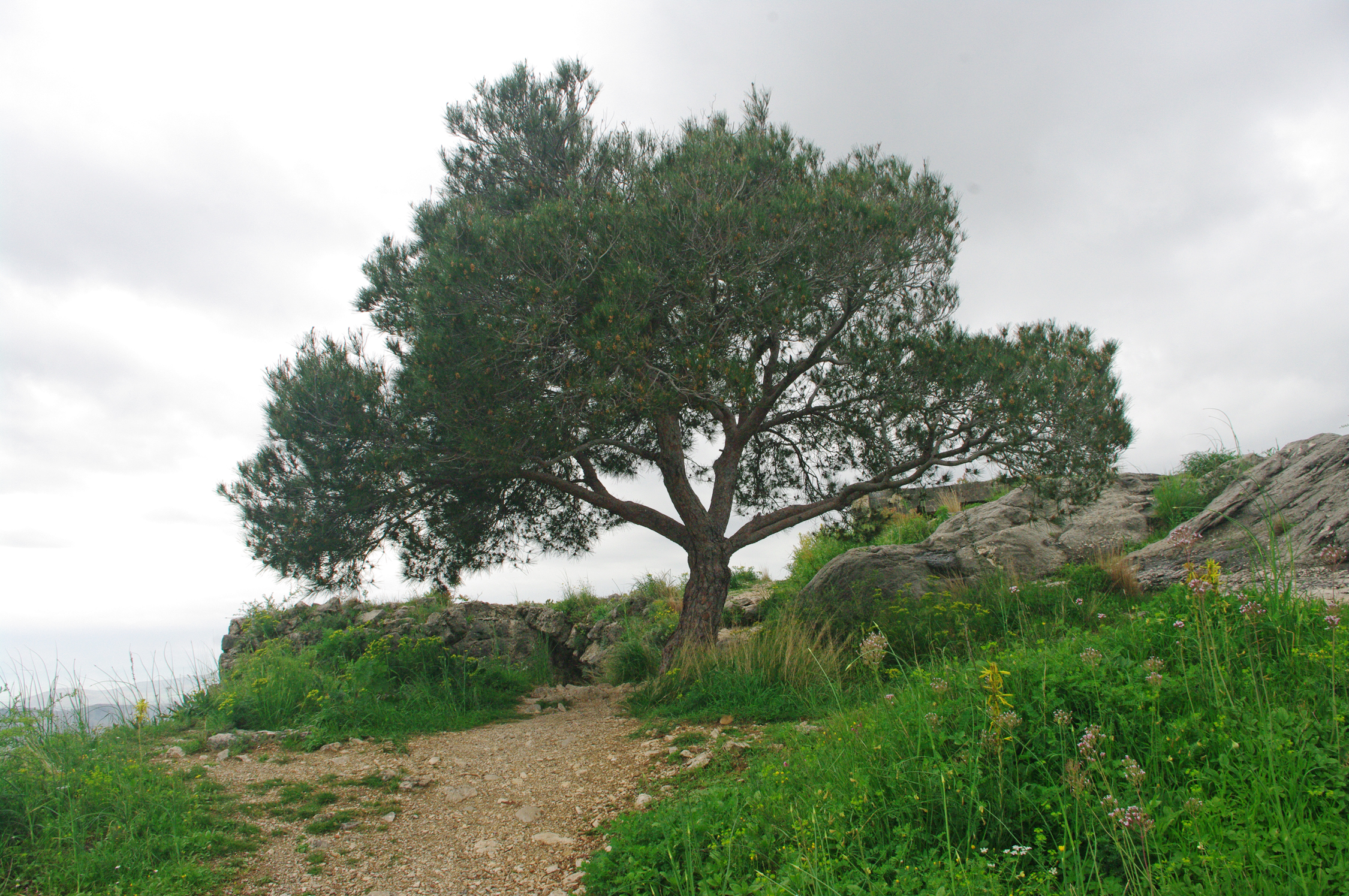 File:Turkish pine, Kozan Castle 02.JPG - Wikimedia Commons