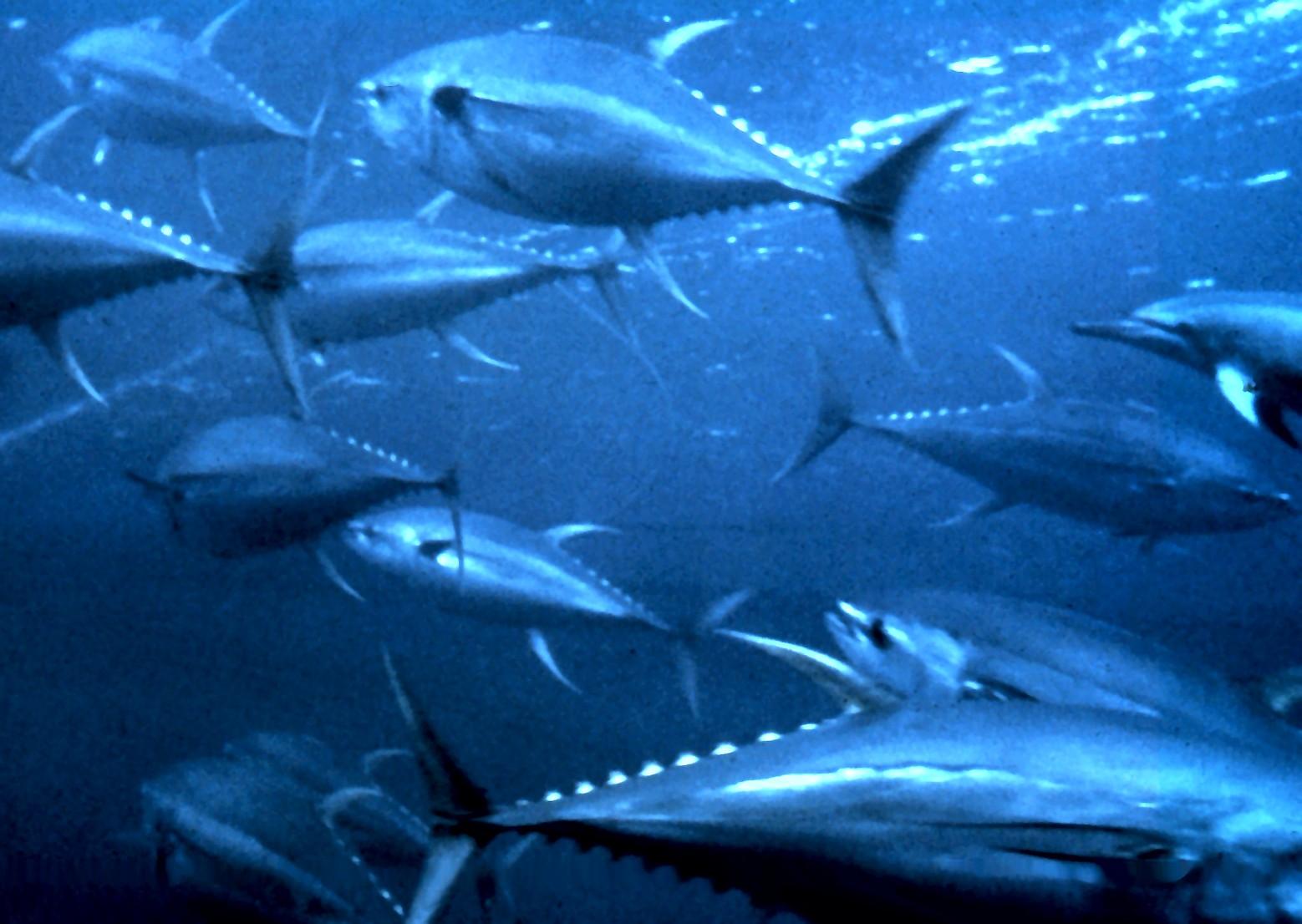 File yellowfin tuna for Fishing for tuna