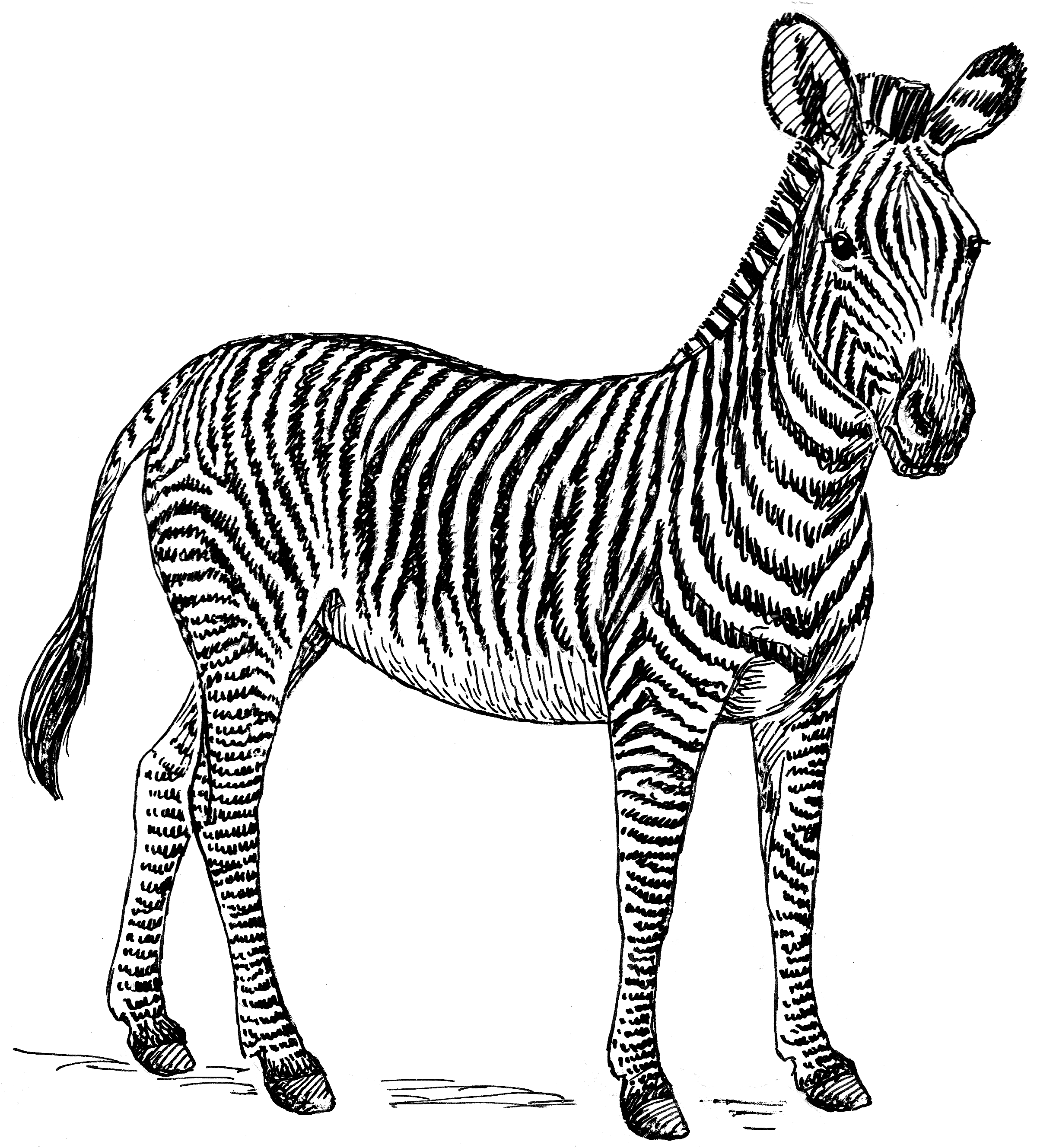Line Drawing Zebra : File zebra psf wikimedia commons