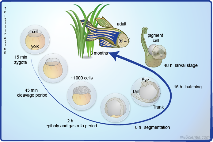 What is so special about zebra fish embryos ...