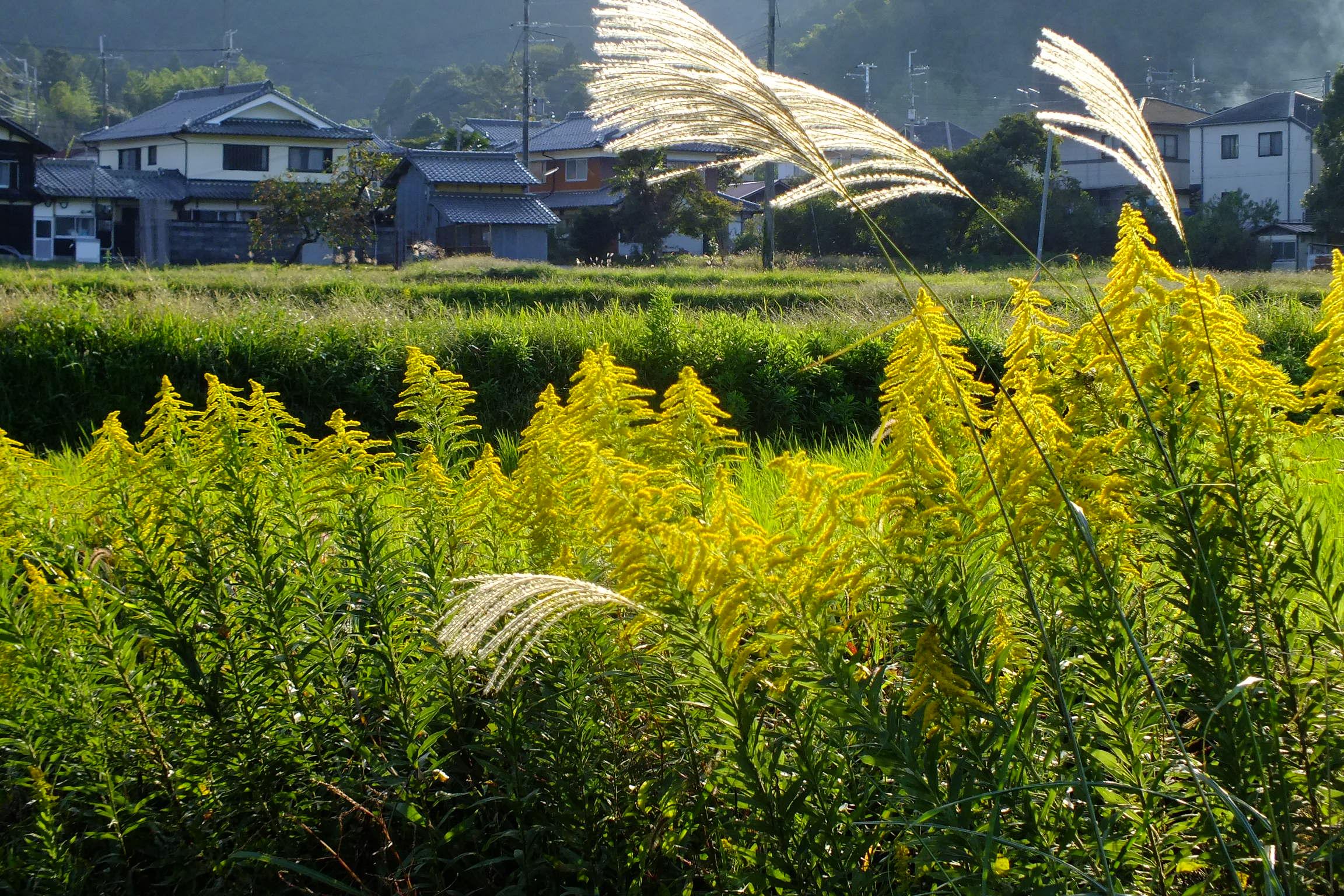 2016-10-15 Solidago canadensis,IN Sasayama,Hyogo セイタカアワダチソウ(篠山市) DSCF1299.jpg