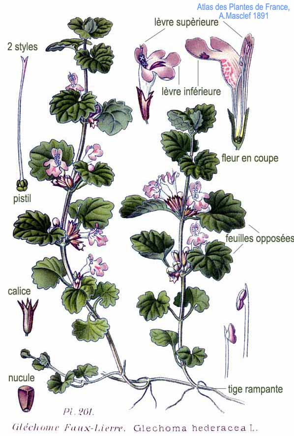 https://upload.wikimedia.org/wikipedia/commons/f/fa/261_Glechoma_hederacea_L.jpg