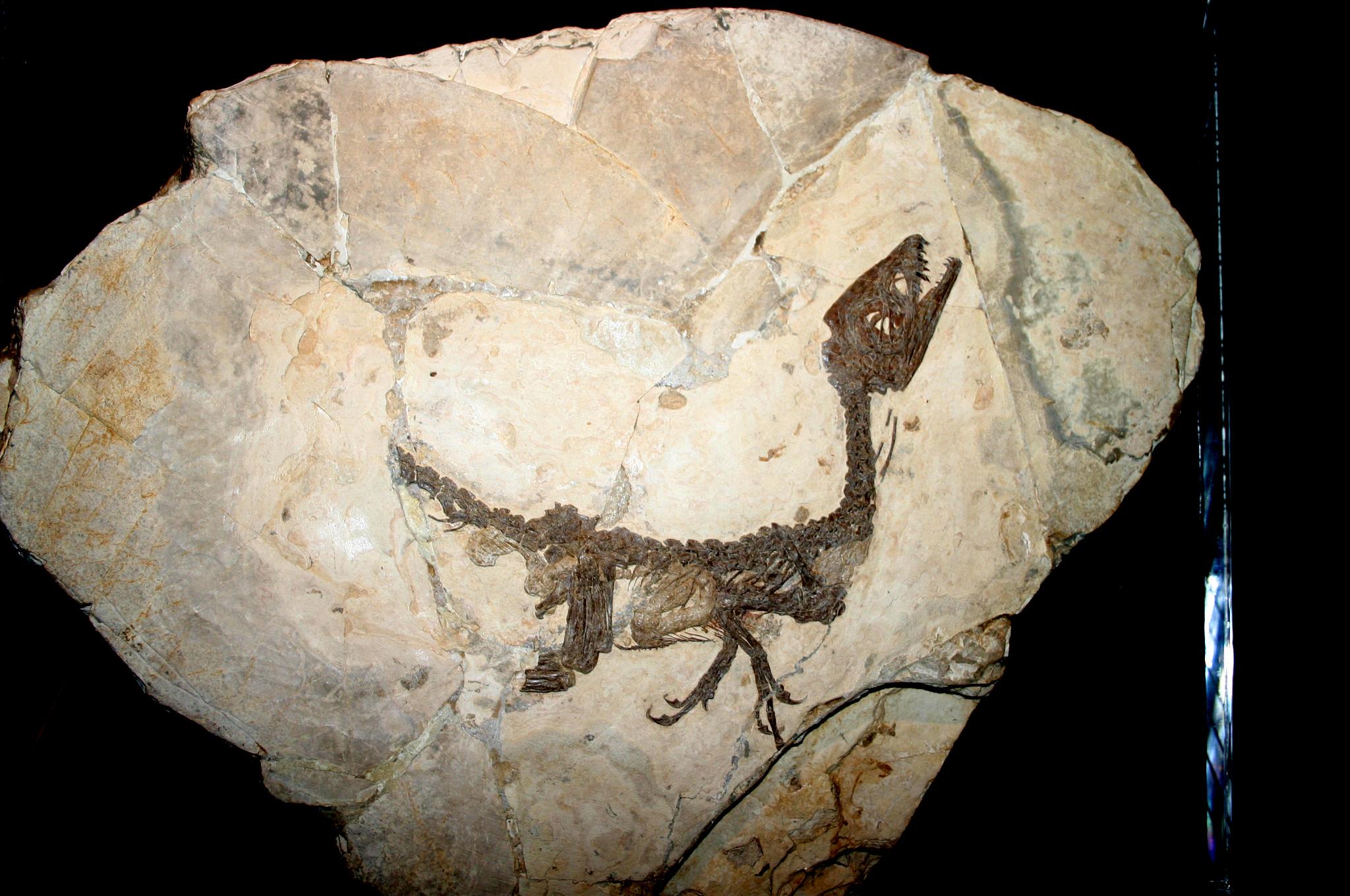 Scipionyx-Skelett mit Hautabdrücken in Mailand, Italien (2007)