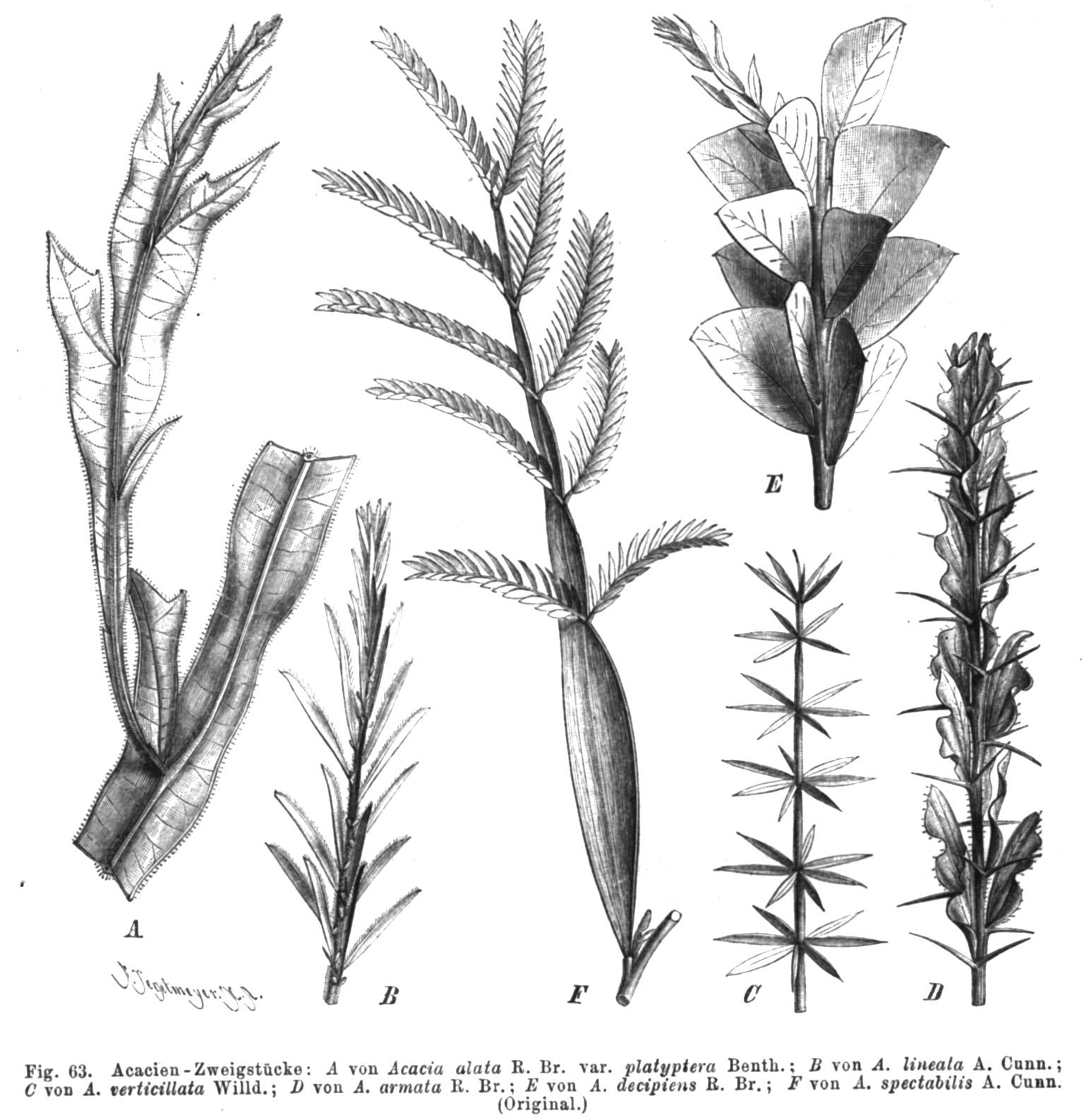 Acacia Wikispecies