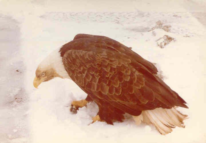 File:Adak, Alaska Eagle (1055063751).jpg
