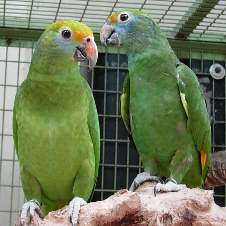 International parrot trade - Wikipedia