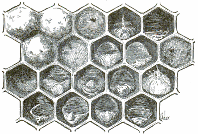 FileAmerican Foulbrood Honeycomb Drawing