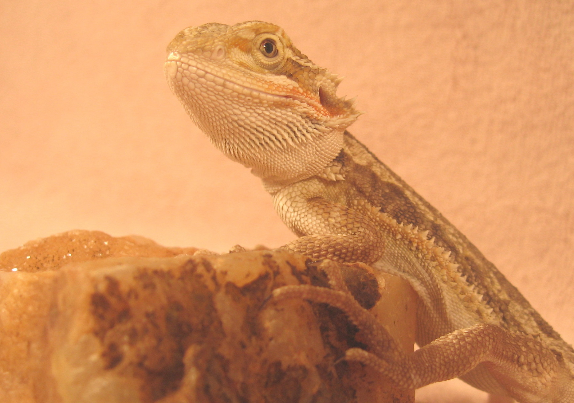 Baby Bearded Dragon Fi...