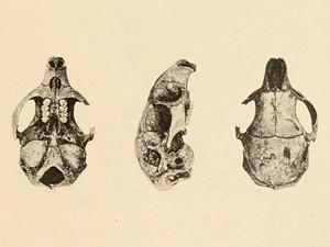 Restos óseos de Boromys torrei