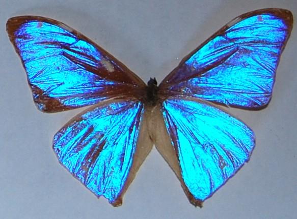 Bộ sưu tập cánh vẩy 6 - Page 4 Brasilianischer_Schmetterling_f8-1