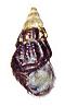 Brotia verbecki shell.png