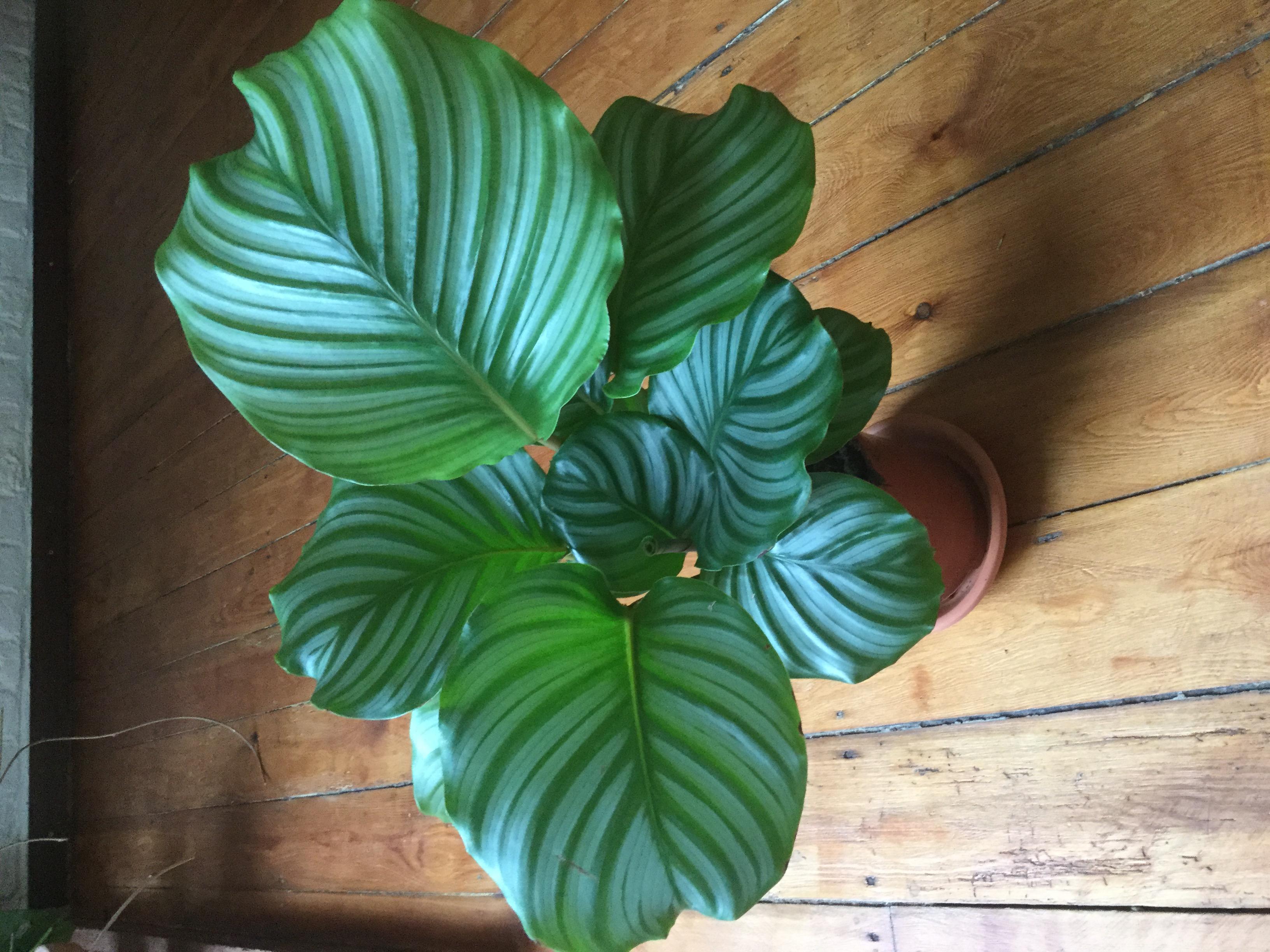 Calathea orbifolia 2.jpg