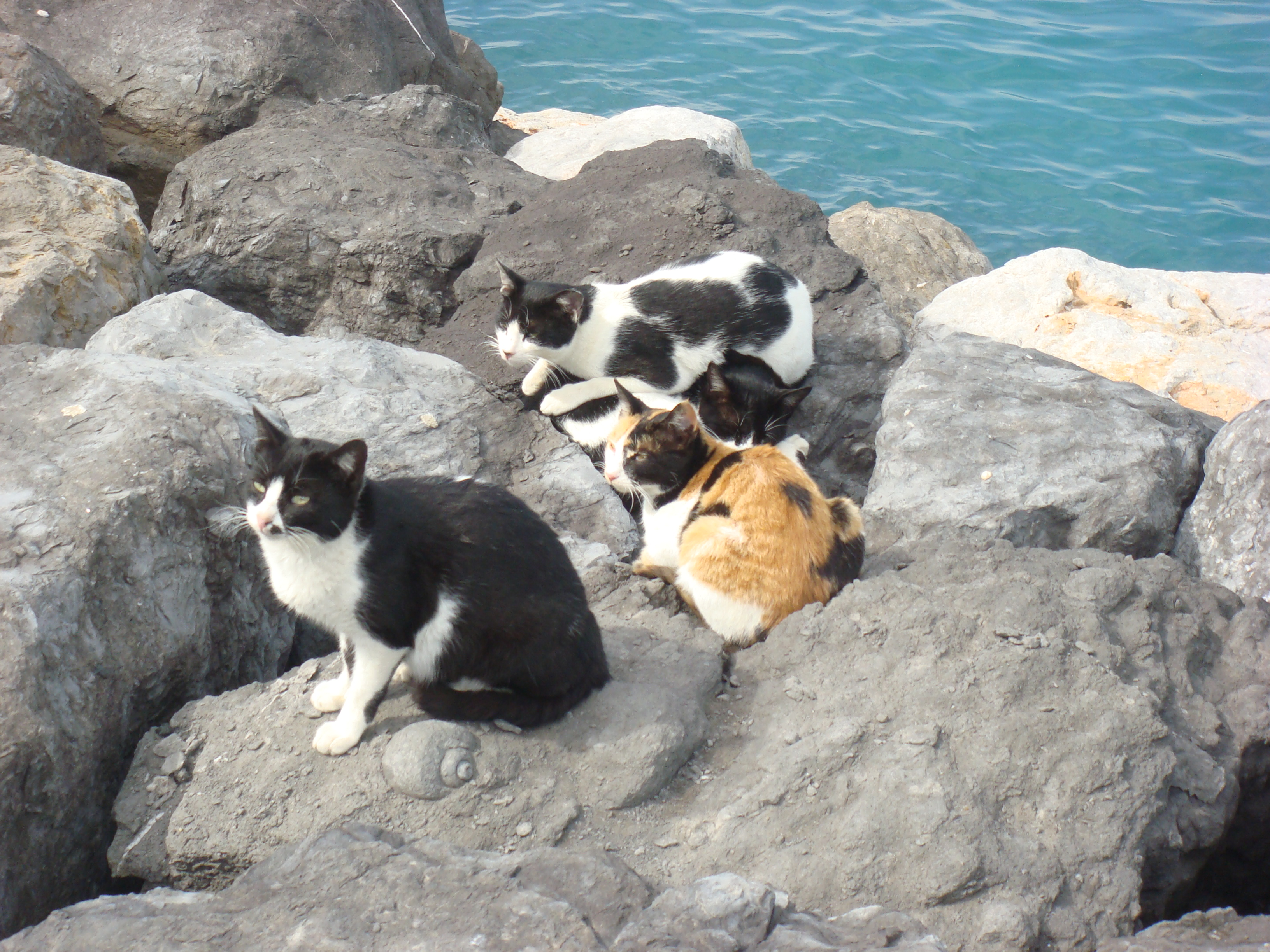 File Cats On Beach Jpg Wikimedia Commons