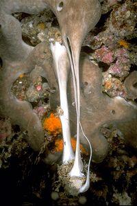 Chondrosia reniformis02