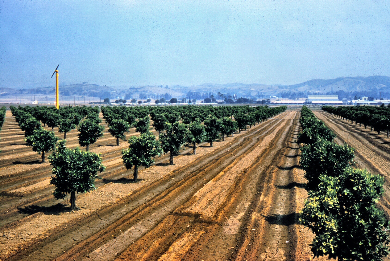 Citrus Groves In Placentia 1961