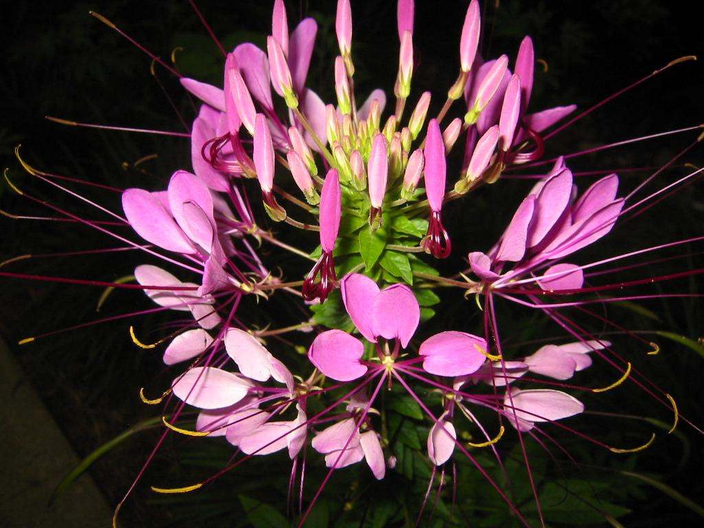 Spider Flower Sparkler Lavender Hybrid Frompo
