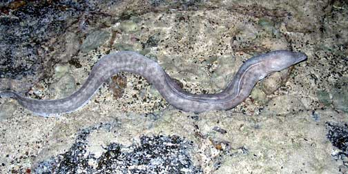 wiki New Zealand longfin eel
