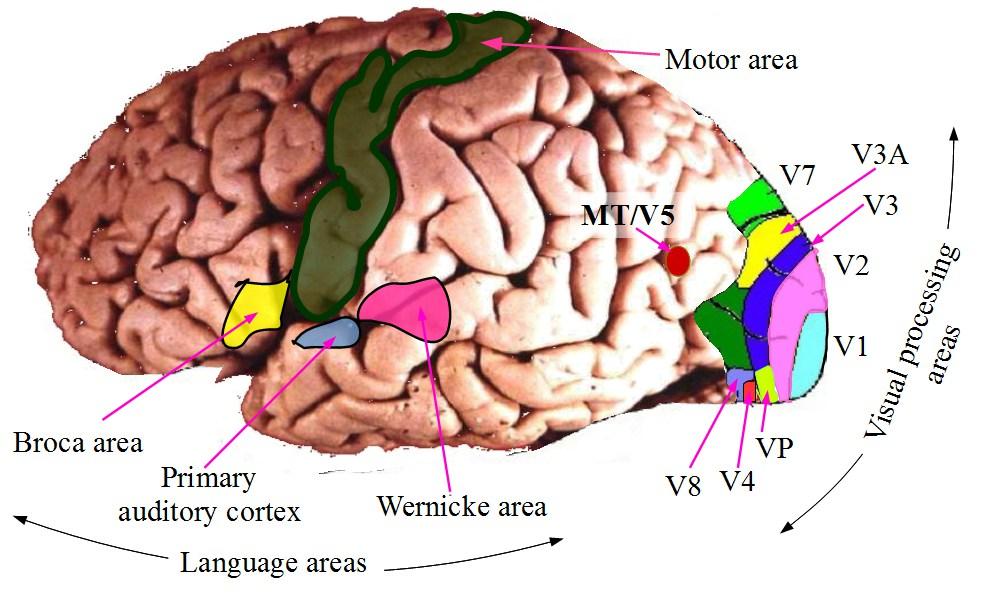File:Cortex functional areas.jpg - Wikimedia Commons