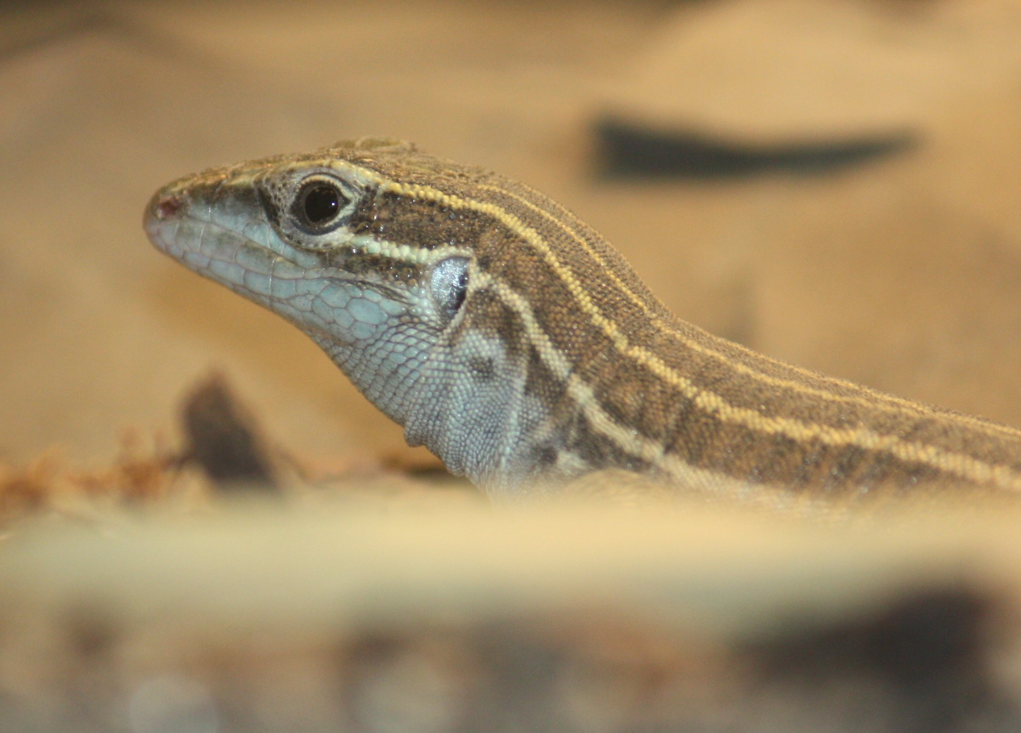 Some species of whiptail lizards, such as this desert grassland whiptail lizard, reproduce exclusively via parthenogenesis. Image By Ltshears (Own work) [CC-BY-SA-3.0 (http://creativecommons.org/licenses/by-sa/3.0)], via Wikimedia Commons