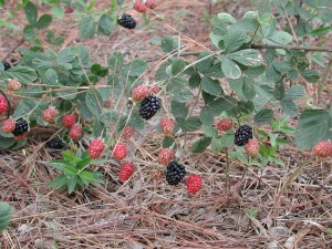 Ripening fruit of a Dewberry (Rubus) plant.