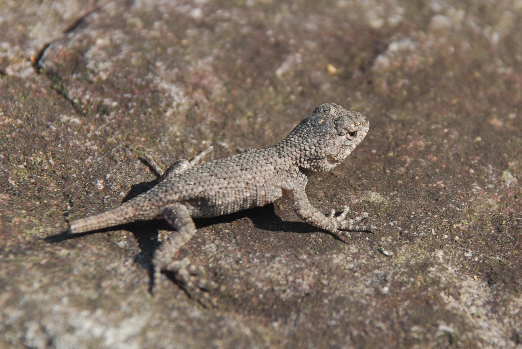 File Douthat State Park Eastern Fence Lizard 5 Jpg Wikimedia