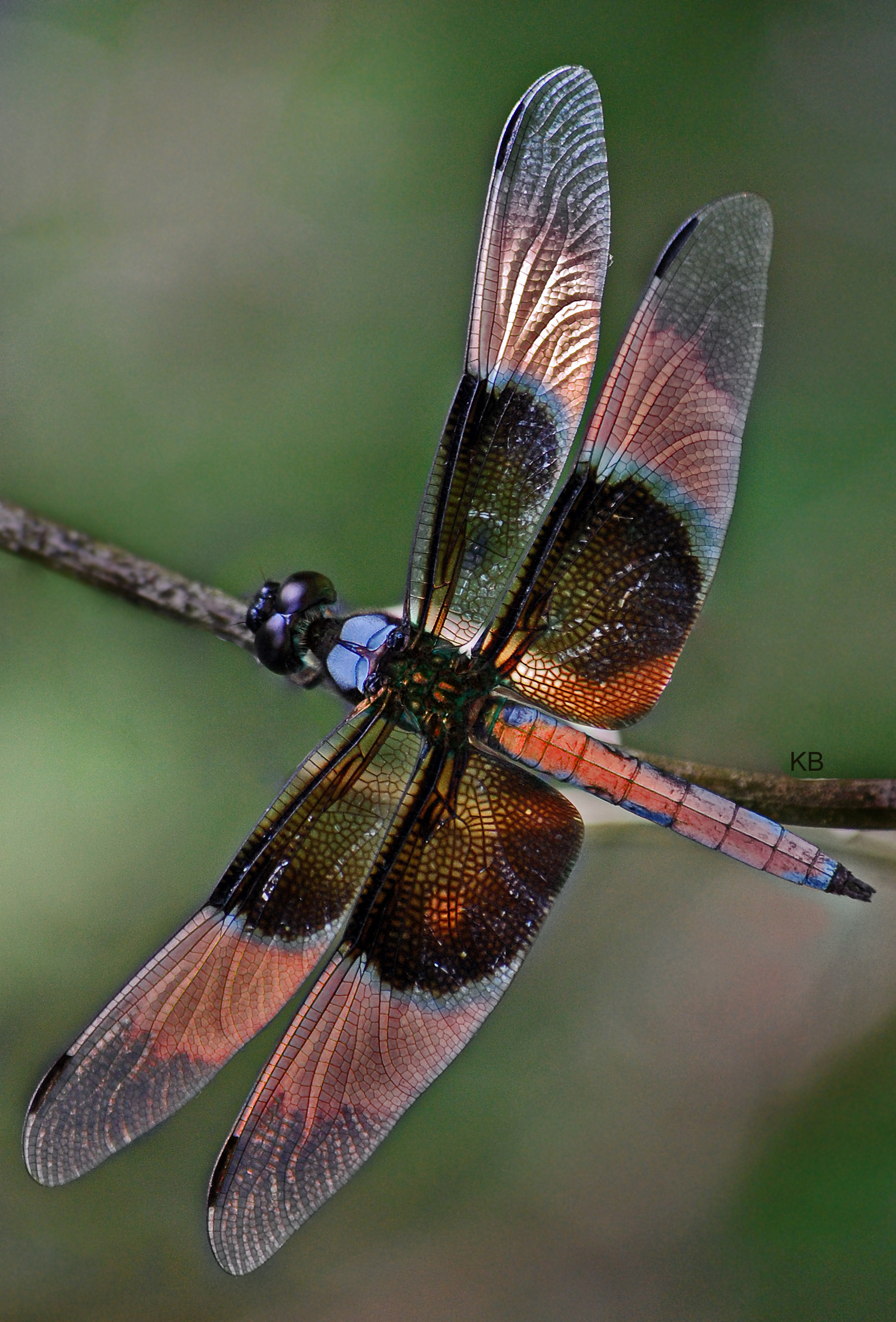 filedragonfly colourful wingsjpg wikimedia commons