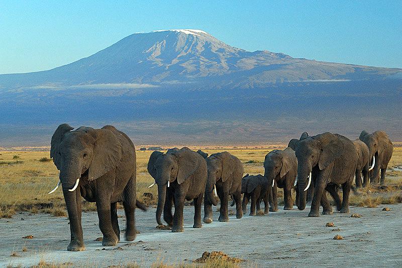 Elefantes no Parque Nacional de Amboseli com o Monte Kilimanjaro ao fundo