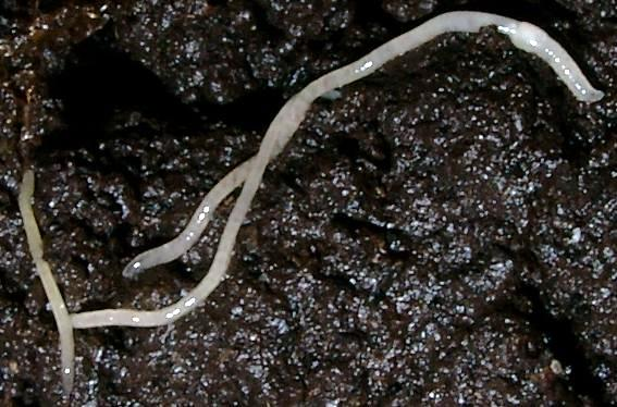 Enchytraeus albidus.jpg