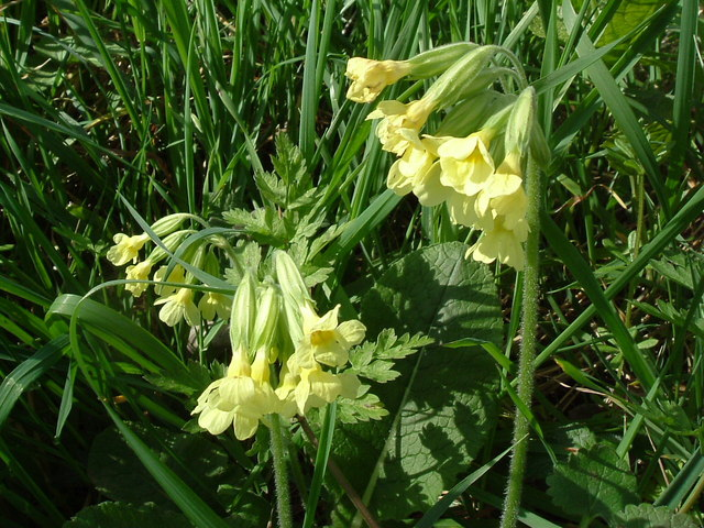 Essex Oxlip - geograph.org.uk - 403865.jpg