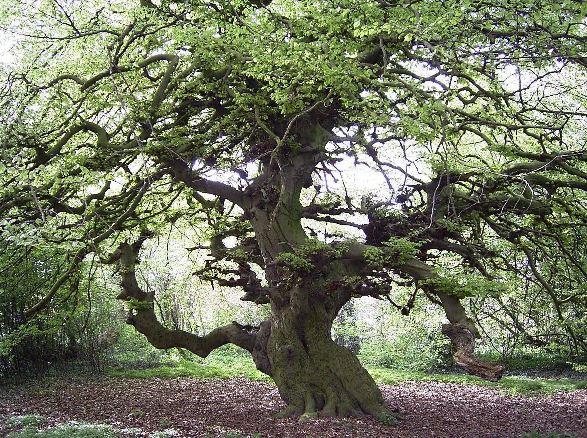 Forum le bonsai bric a brac photo d 39 arbres v n rables for Faux olivier arbre