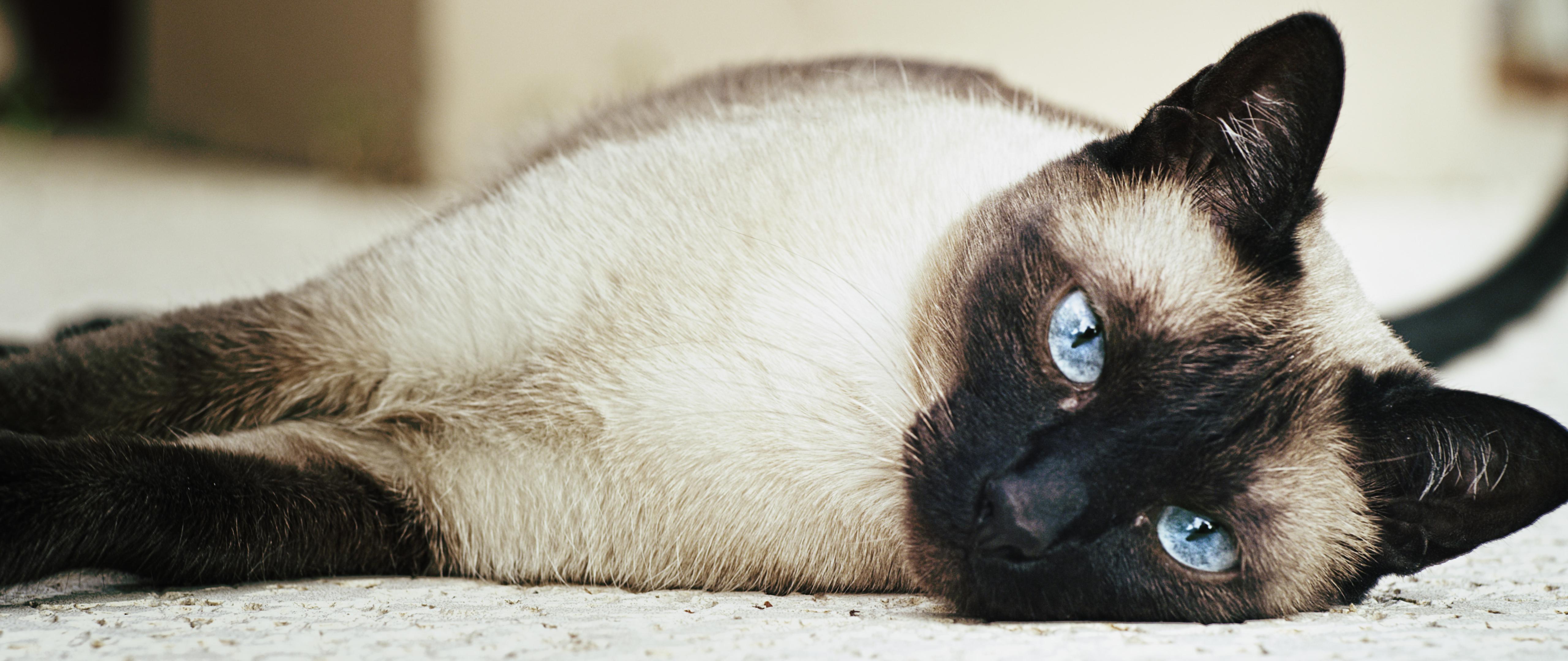 File Female siamese cat Wikimedia mons
