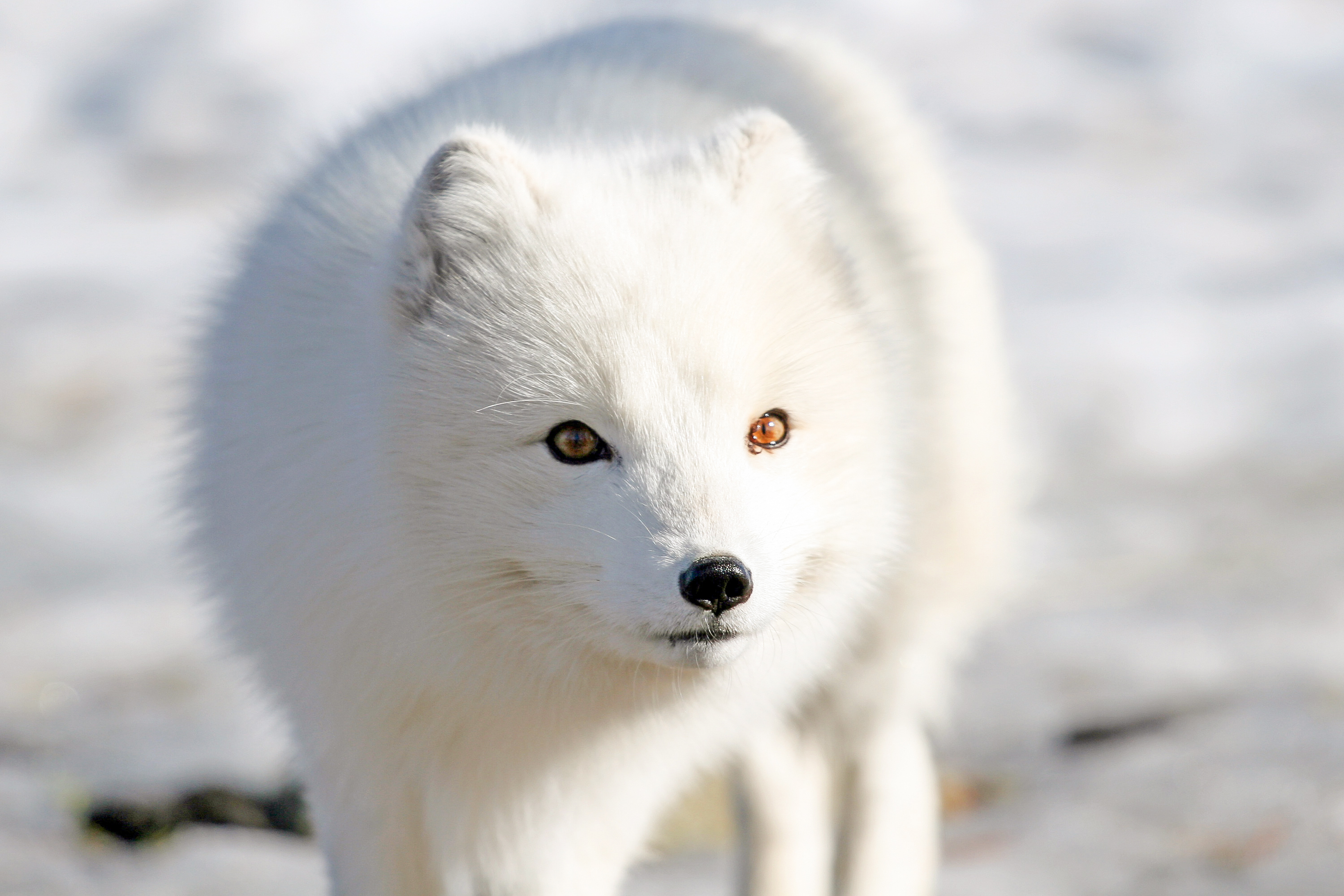 Image Result For Arctic Tundra Animals