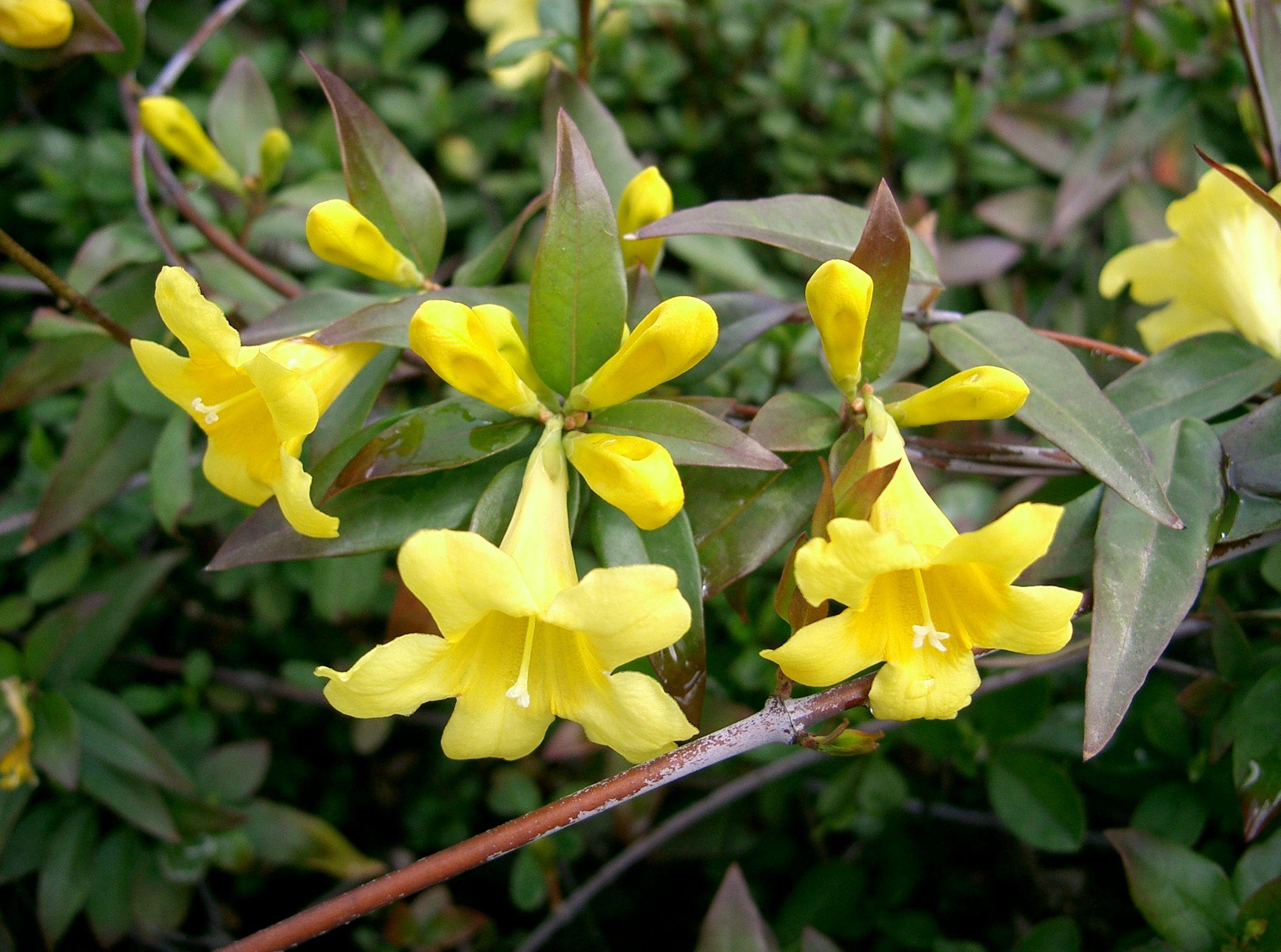 Horsedvm Toxic Plants For Horses Carolina Jasmine