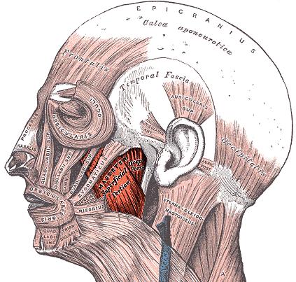Masseter muscle - Wikipedia