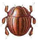 Haeterius ferrugineus (cropped)