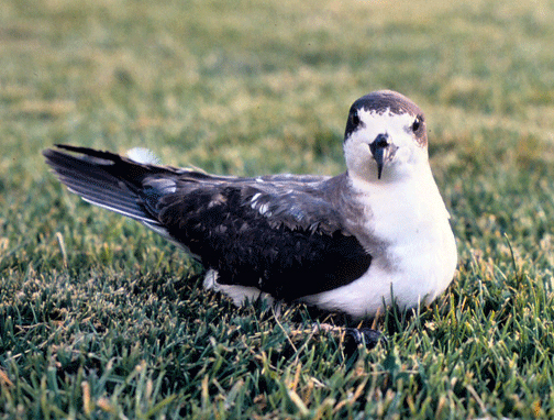 https://upload.wikimedia.org/wikipedia/commons/f/fa/Hawaiian_Petrel_Pterodroma_sandwichensis_on_lawn.jpg