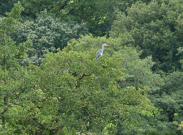 Heron in the trees above Gunthwaite Dam - geograph.org.uk - 935602