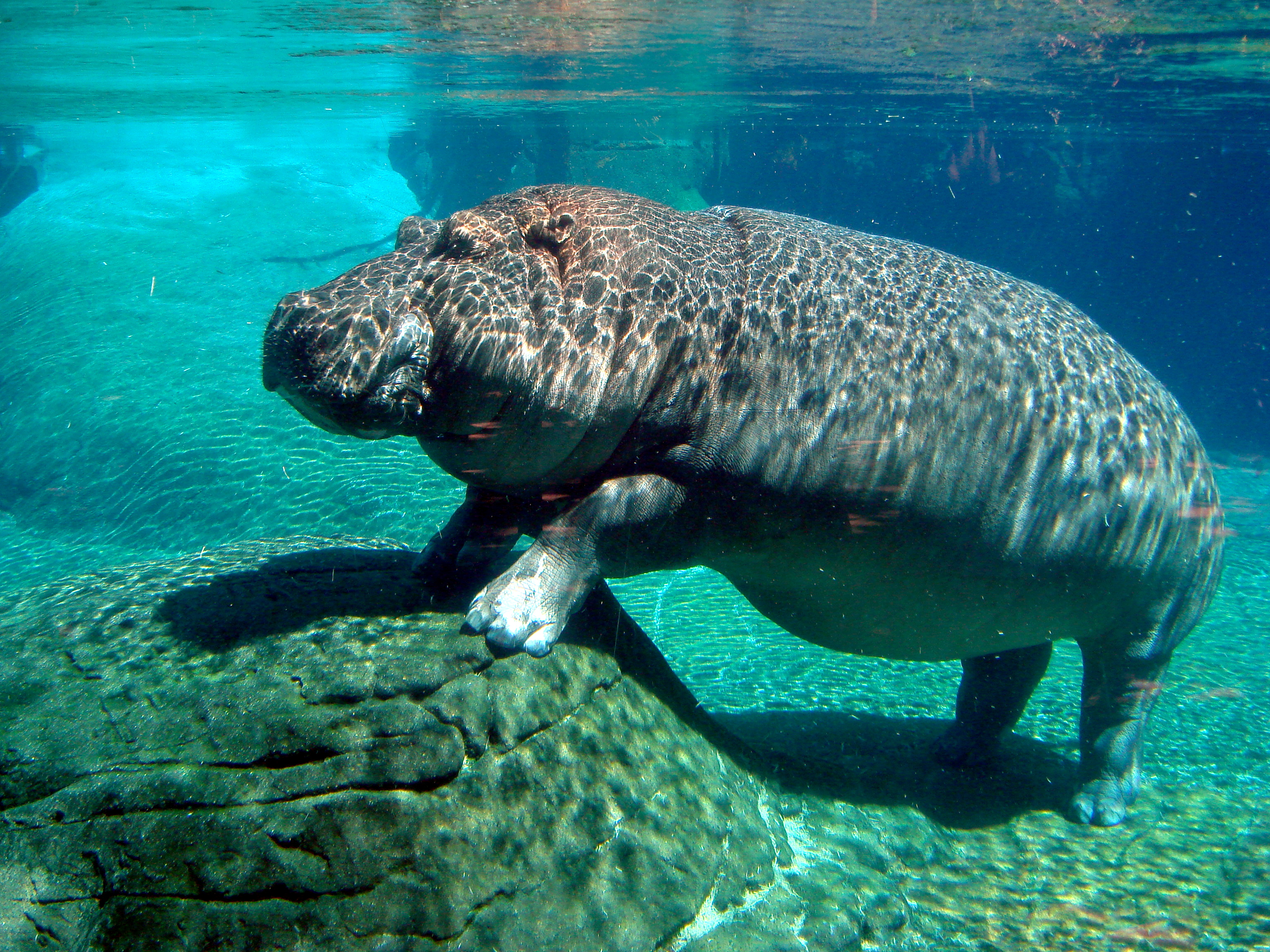 Image result for a picture of a hippo under the water