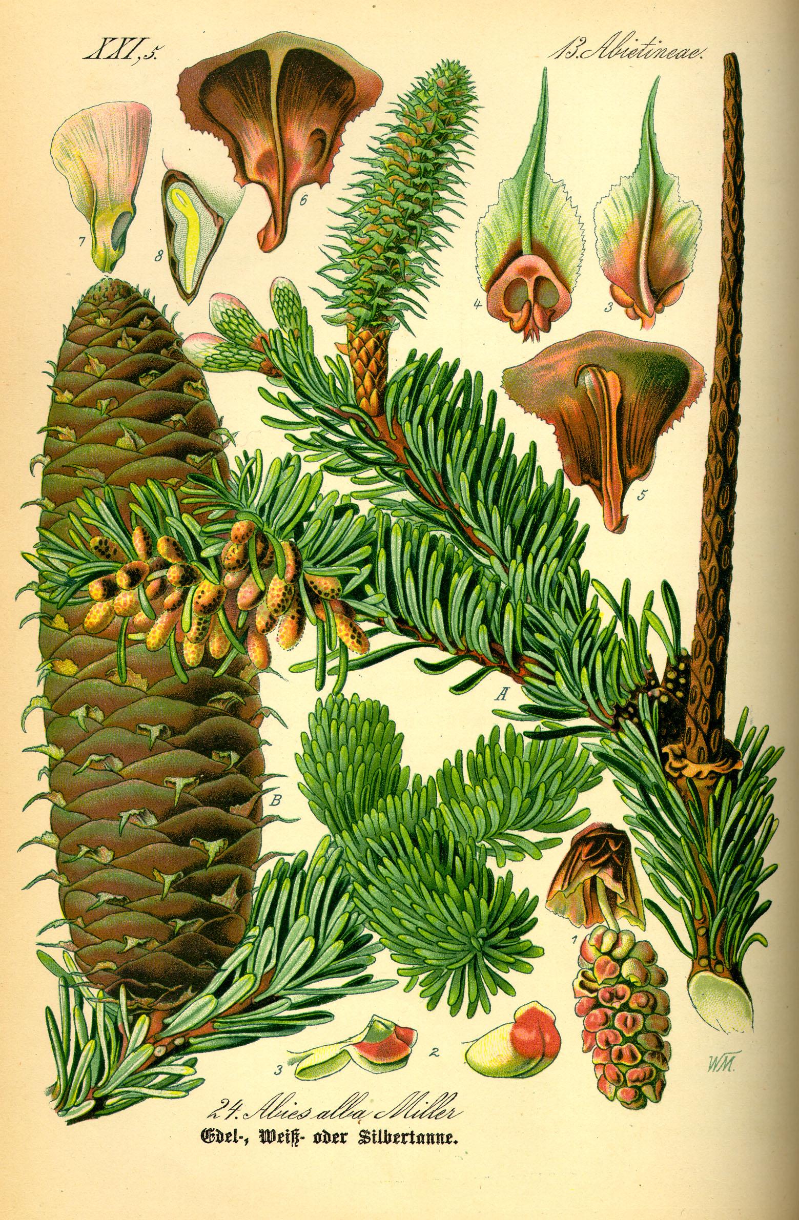 Энциклопедия растений Пихта