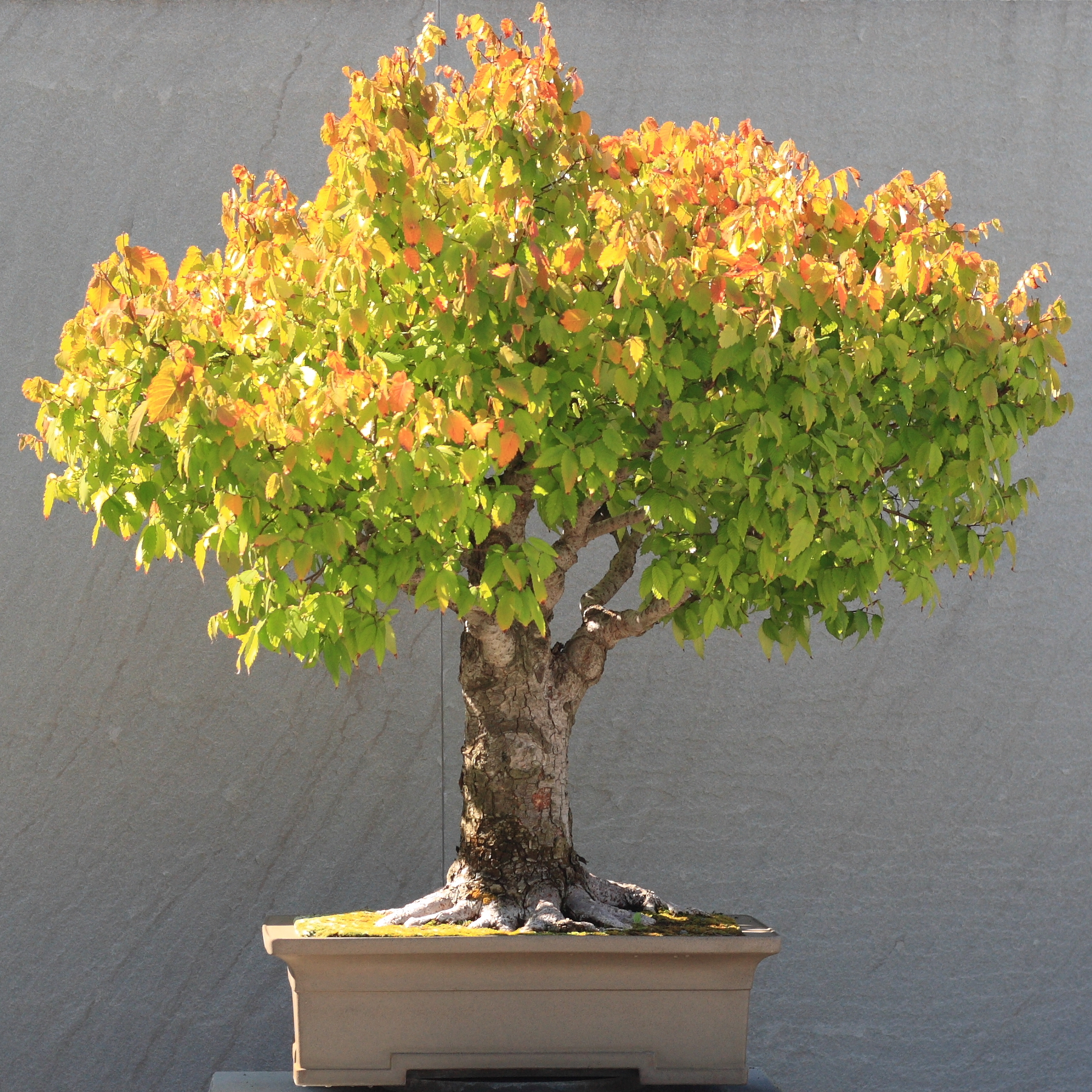 File japanese zelkova bonsai 16 october 10 for Bonsai vasi