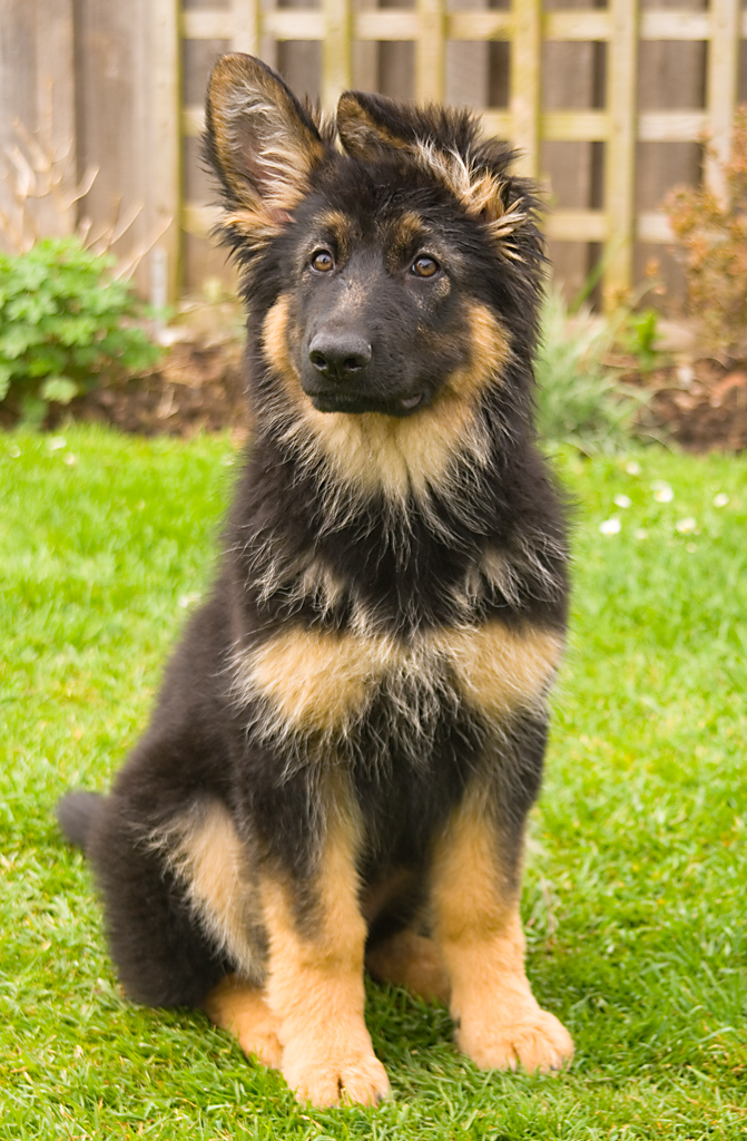 German Shepherd Lion Cut The adult german shepherd's