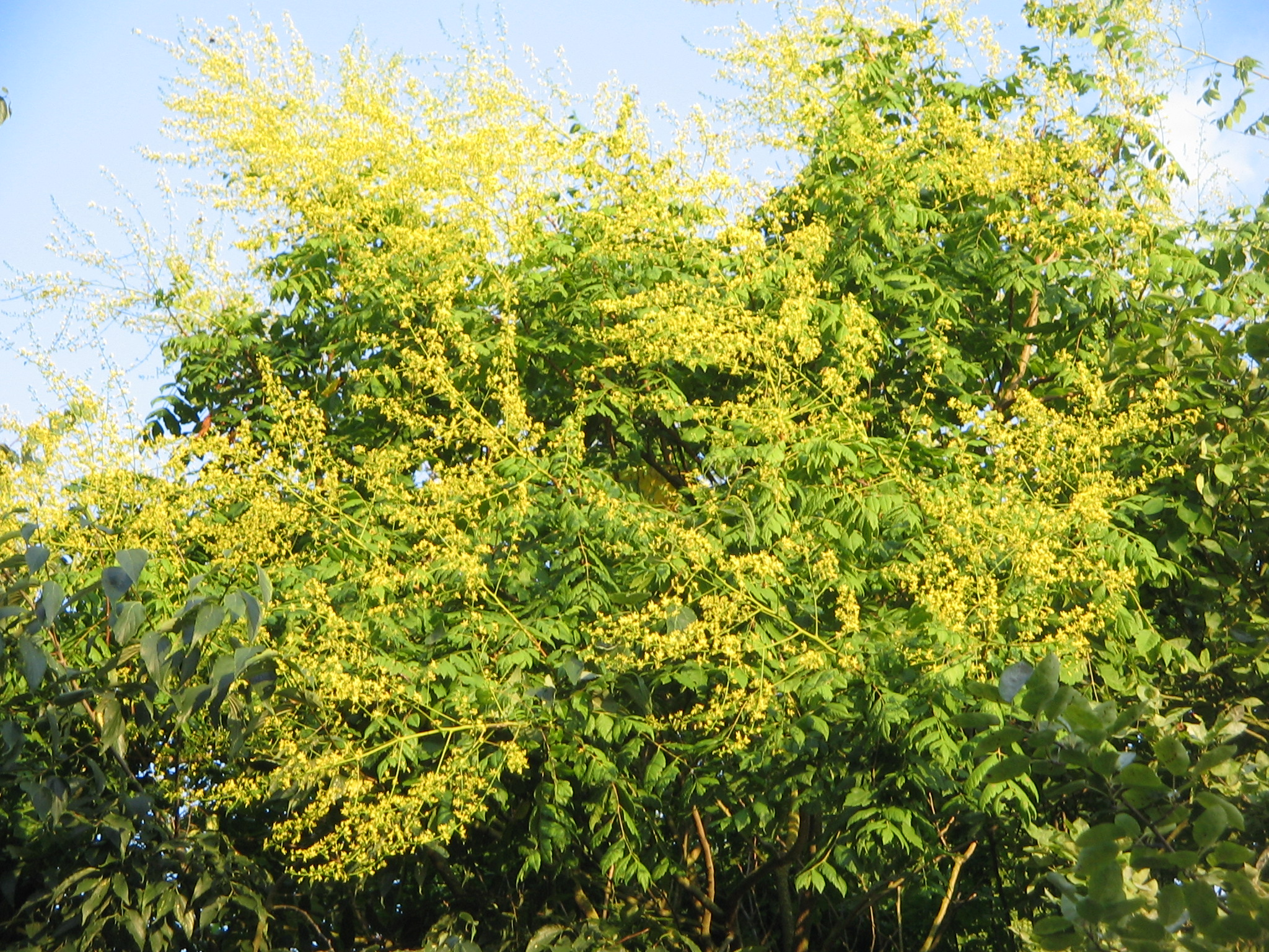 Filekoelreuteria Paniculata Floweringg Wikimedia Commons