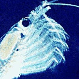 File:Krill filter feeding.jpg