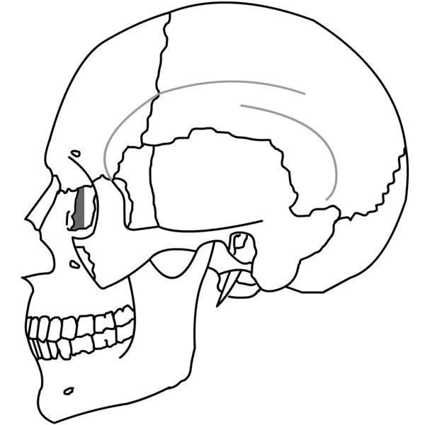Filelacrimal Bone Simpleg Wikimedia Commons