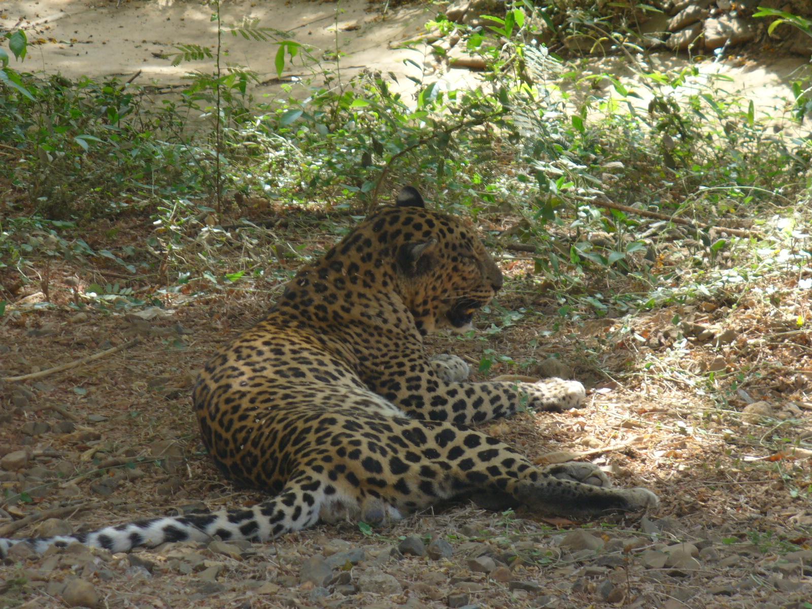 A Leopard inside Sanjay Gandhi National Park