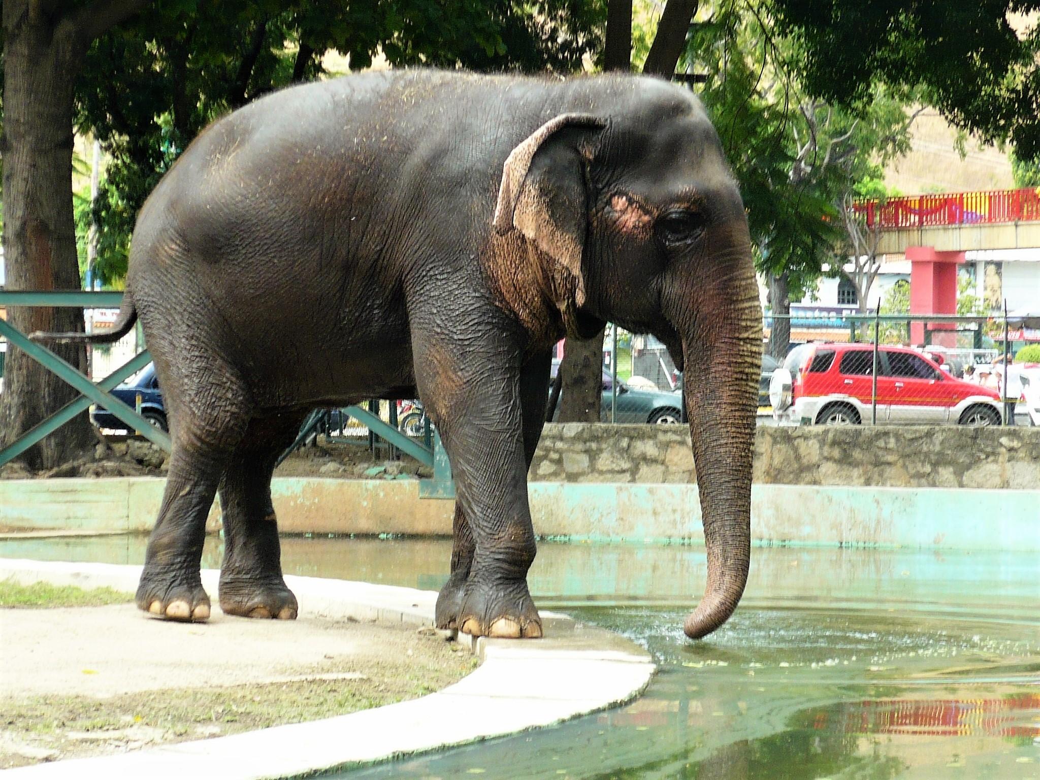 Archivo:Lucky - Elefante asiático (Elephas maximus).jpg - Wikipedia ...